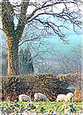Sheep graze by a hole in a hedge during winter. The branches are bare and shine brightly in the crisp sun.