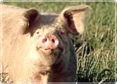 A farm pig