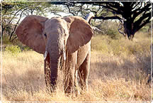 An African Elephant roams in scrubby grasslands