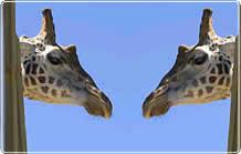 Two giraffes eyeball one another.