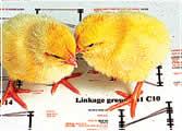 Cloned chicks
