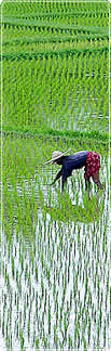 A woman in a large straw hat bends over to plant rice in a waterlogged paddy field.