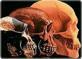 3 ancient skulls showing how humans have changed over the millenia.